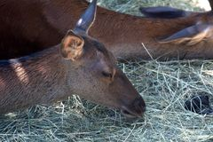 Красные олени, Szarvas, Венгрия Стоковое Фото