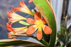 Красные оранжевые цветеня лилии цветка Стоковое Изображение RF