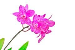 Красные орхидеи Стоковые Изображения