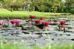 Красные лотосы Стоковая Фотография