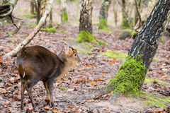 Красные олени в природном парке Стоковые Изображения RF