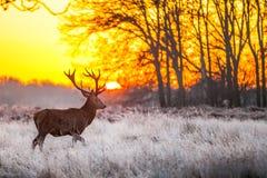 Красные олени в утре Солнце стоковое изображение
