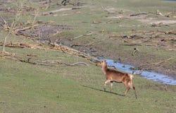 Красные олени задние в Oostvaardersplassen стоковое фото rf