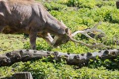 Красные олени, изображение конца поднимающее вверх большого оленя стоковое изображение
