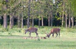 Красные олени и поросята стоковое фото