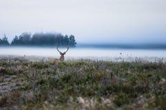 Красные олени на поле в самом начале туманное утро во время колейности B Стоковое Изображение RF