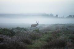 Красные олени на поле в самом начале туманное утро во время колейности B Стоковая Фотография RF