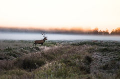 Красные олени на поле в самом начале туманное утро во время колейности B Стоковые Фото