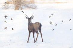 Красные олени на снеге стоковое фото rf