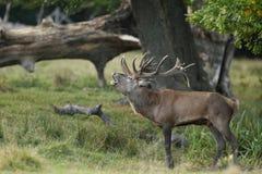 Красные олени прокладывать сезон Стоковые Фотографии RF