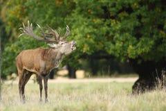 Красные олени прокладывать сезон Стоковая Фотография