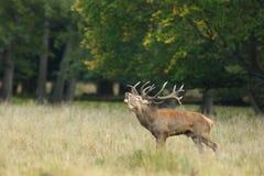 Красные олени прокладывать сезон Стоковое фото RF