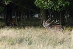 Красные олени прокладывать сезон Стоковое Фото