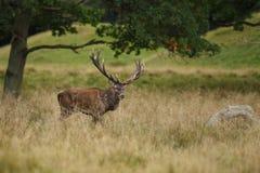 Красные олени прокладывать сезон Стоковая Фотография RF