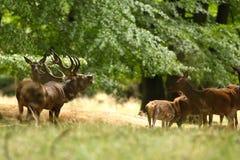 Красные олени прокладывать сезон Стоковое Изображение