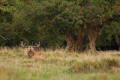 Красные олени прокладывать сезон Стоковые Изображения RF