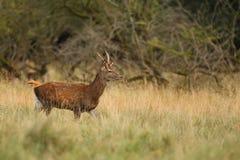Красные олени прокладывать сезон Стоковые Изображения