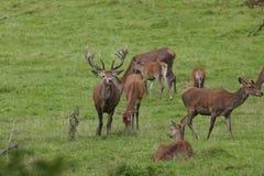 Красные олени прокладывать сезон Стоковые Фото