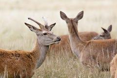 Красные олени Стоковые Фото