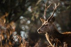 Красные олени стоковое изображение