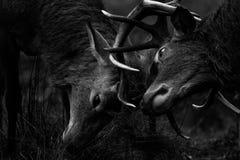 Красные олени стоковая фотография rf