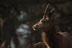Красные олени стоковая фотография