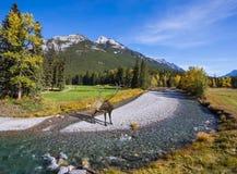Красные олени Стоковое Фото
