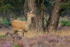 Красные олени (elaphus Cervus) стоковое изображение rf