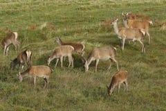 Красные олени & x28; Elaphus& x29 Cervus; Стоковое Изображение RF