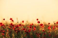 Красные одичалые маки и сельские поля стоковое изображение rf