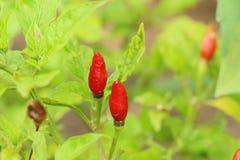 Красные перцы на дереве Стоковые Фото