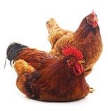 Красные петух и курица стоковая фотография rf