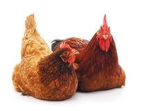 Красные петух и курица стоковые фото