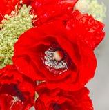 Красные полевые цветки rhoeas мака, мак кукурузного поля с бутонами, Стоковое Изображение RF