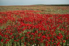 Красные поля маков Стоковые Фотографии RF