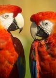 Красные попугаи ары Стоковые Изображения