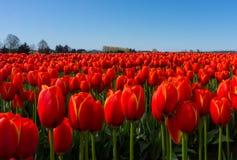 Красные поля тюльпана закрывают вверх по взгляду Стоковое Изображение