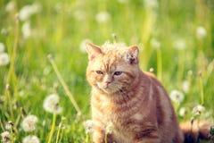Красные прогулки кота на лужайке blowball стоковые изображения rf