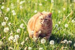 Красные прогулки кота на лужайке blowball стоковое изображение rf