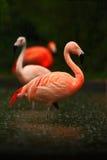 Красные птицы в воде Фламинго красивой розовой большой птицы карибский, ruber Phoenicopterus, очищая оперение в темной ой-зелен в Стоковая Фотография