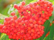 Красные пуки золы горы в поздним летом Стоковые Изображения