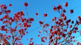 Красные пуки рябины стоковые фотографии rf