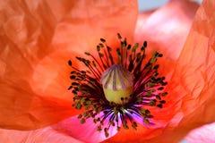Красные пыльники 04 мака Стоковые Фотографии RF