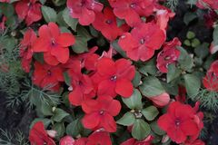 Красные розовые цветки в саде Стоковая Фотография RF