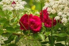 Красные розы в белых цветках засорителя епископов в саде Стоковое Изображение RF