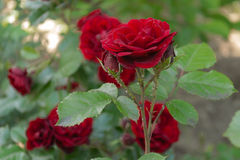 Красные розы в летнем дне Стоковое Фото