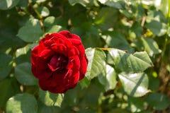 Красные розы в летнем дне Стоковое Изображение
