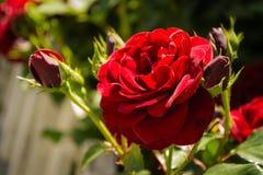 Красные розы в летнем дне Стоковое фото RF