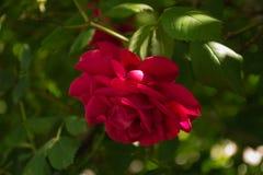 Красные розы в летнем дне Стоковая Фотография RF
