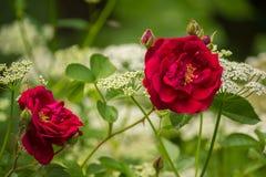 Красные розы в саде с белым ` s епископа полют цветки Стоковые Фото